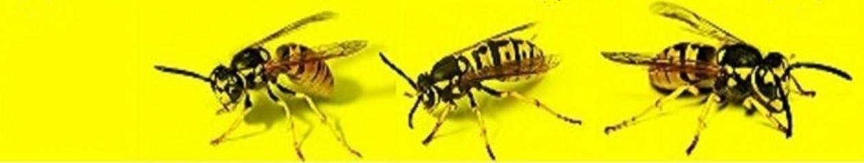 Wespenbestrijding – 100% garantie